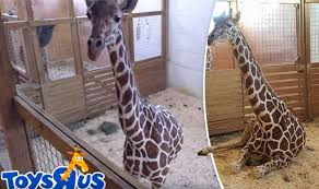 April The Giraffe Is Still Very Much Pregnant