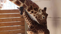 April the Giraffe's Pregnancy Boosts Tourism in Harpursville