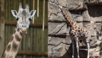 Sabrena, Lincoln Park Zoo's Giraffe Has Died